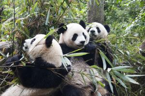 Panda Region